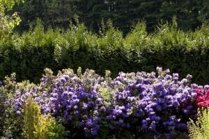 uprawa różaneczników